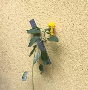 Sonnenblume mit Klebeband an Hauswand befestigt